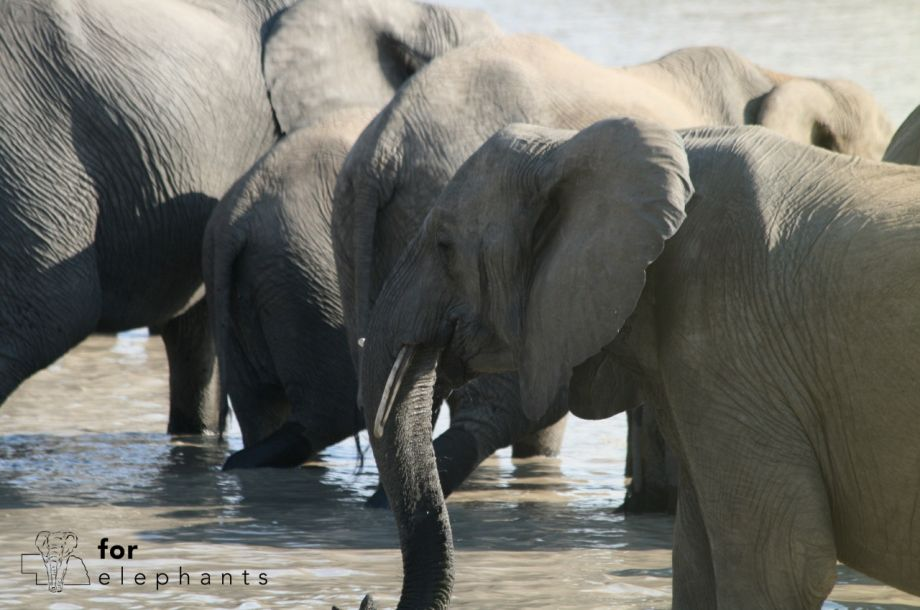 What is an African elephant's diet?