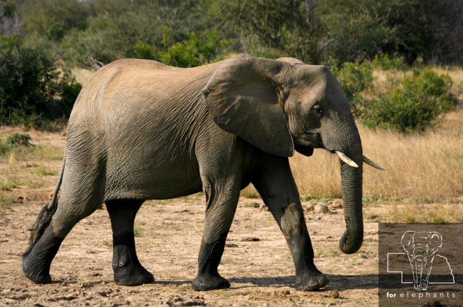 Three ways to save elephants without spending money