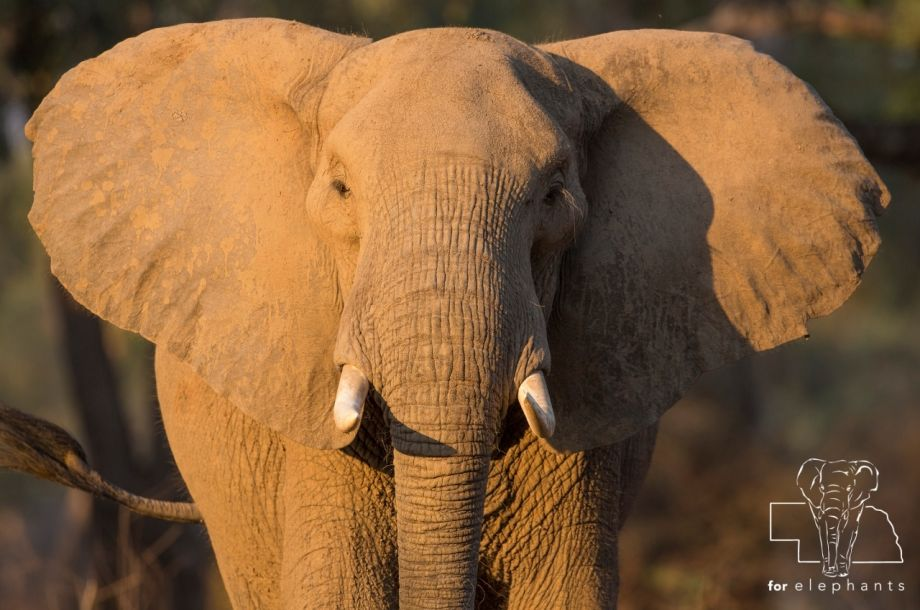 Updated: Fun facts about elephant's ears!
