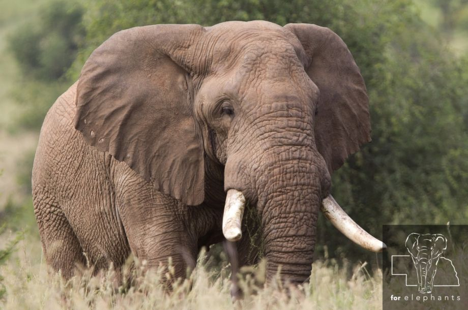 The new conservation status for African elephants