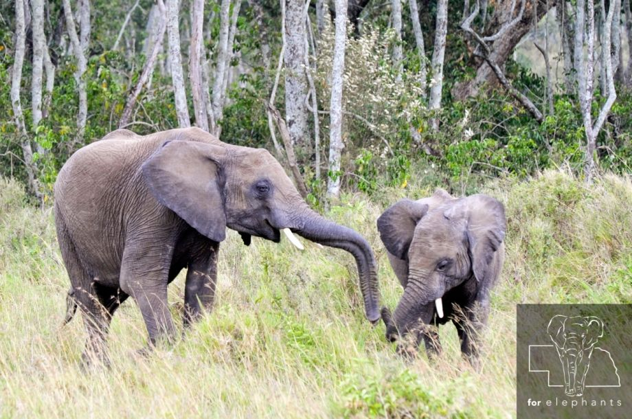 What you need to know about the African bush elephant