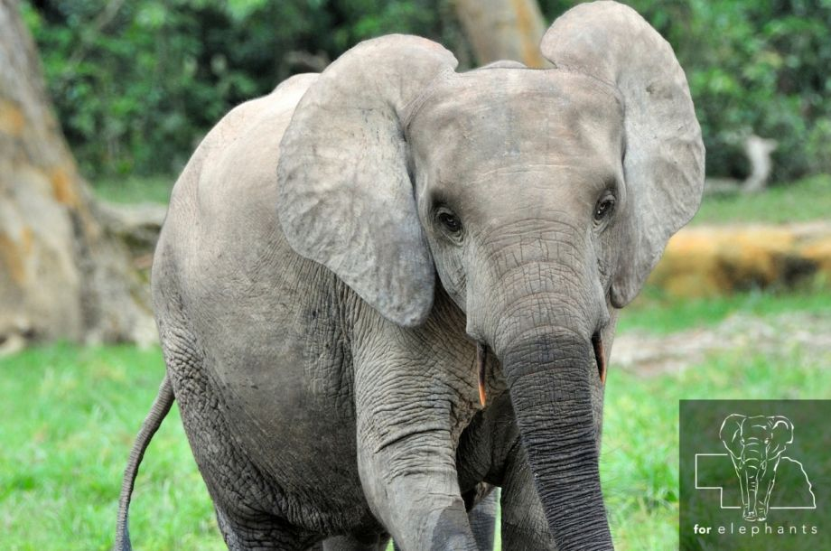 What you need to know about the African forest elephant