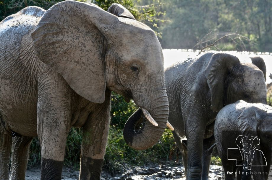 Why elephants are poached