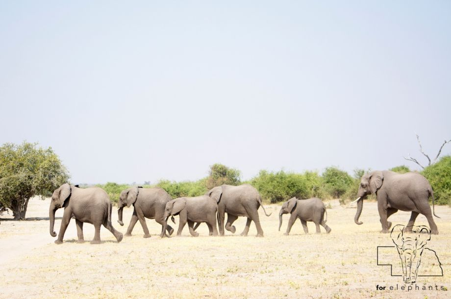 The role of the matriarch elephant