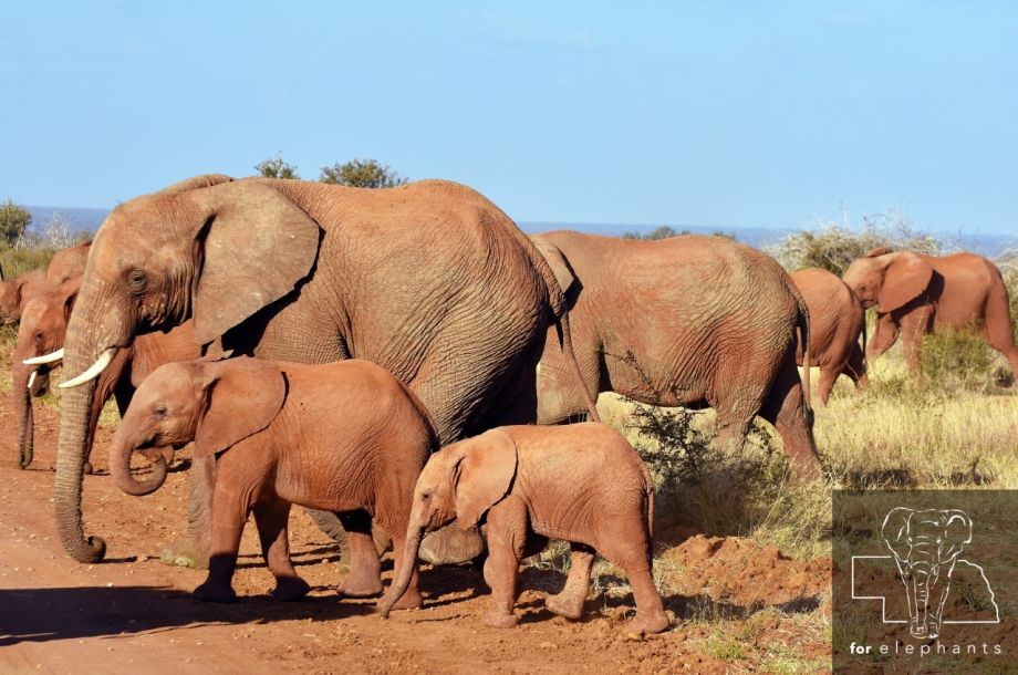 Updated: The social structure of elephants
