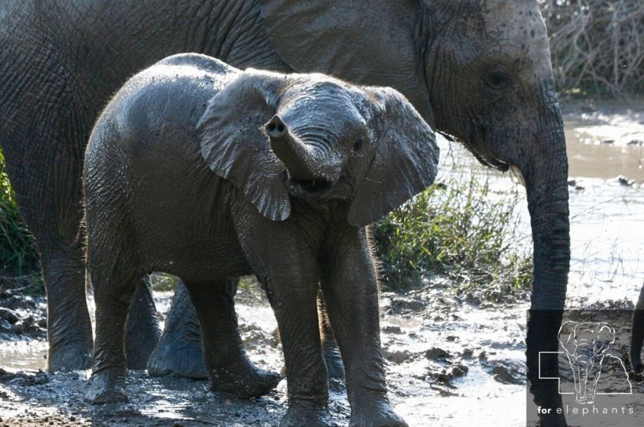 Why do elephants make great mothers?