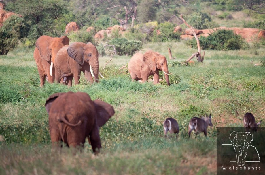 Updated: How African elephants impact the environment
