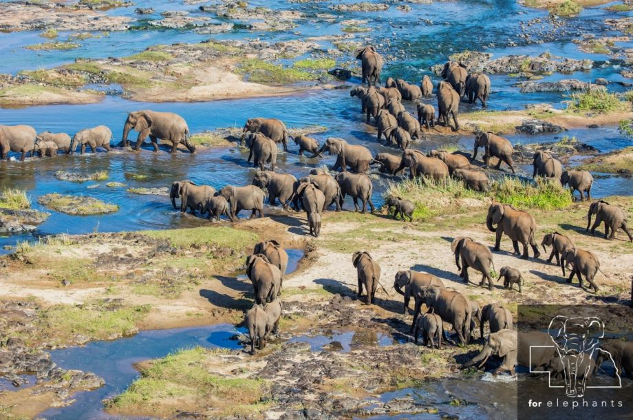 The process of counting African elephants