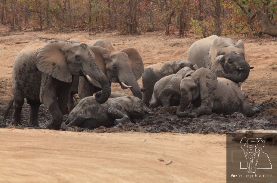 Ways that elephants stay cool in the hot weather