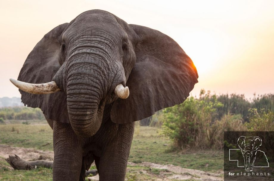 Updated: The Role of a Bull Elephant