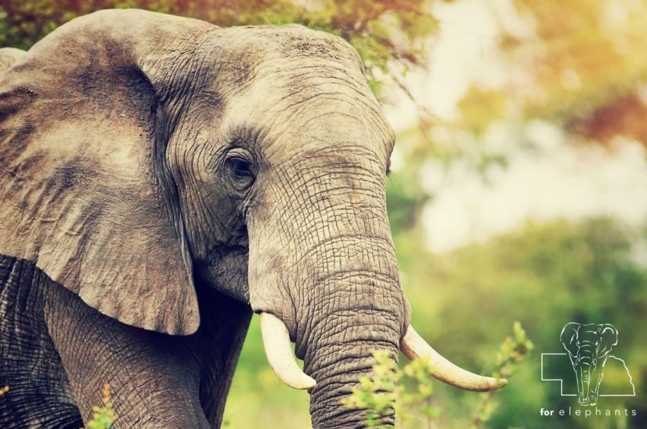6 facts about an elephant's eye vision