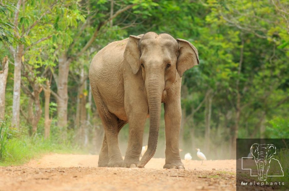 Four facts about Asian elephants