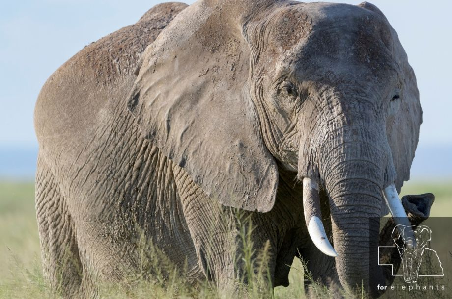 Why it is important to understand elephant pregnancies