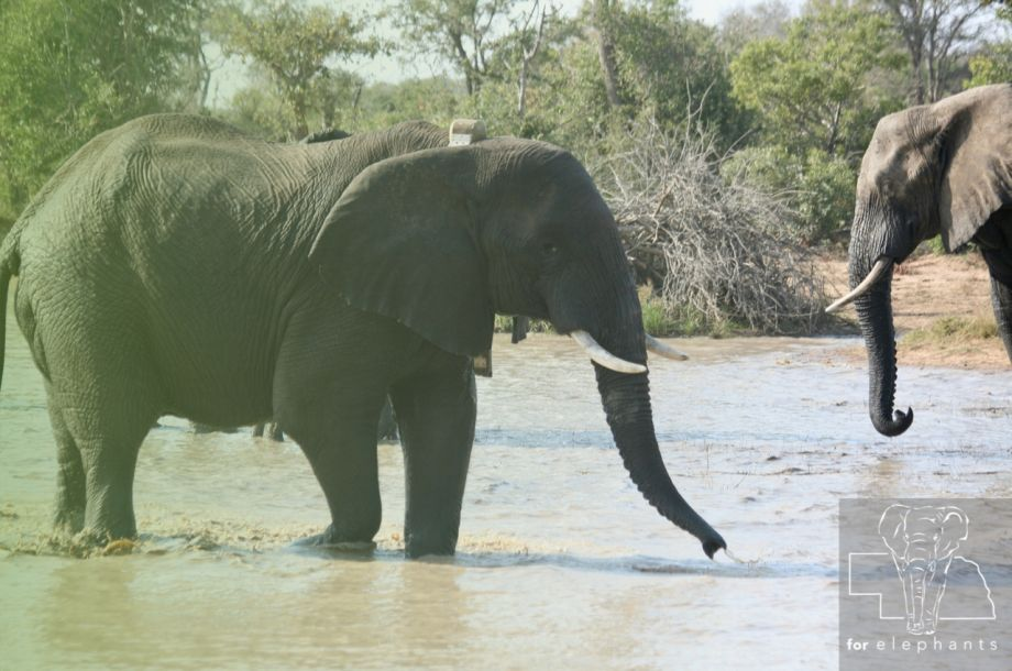 African elephants impact on the environment