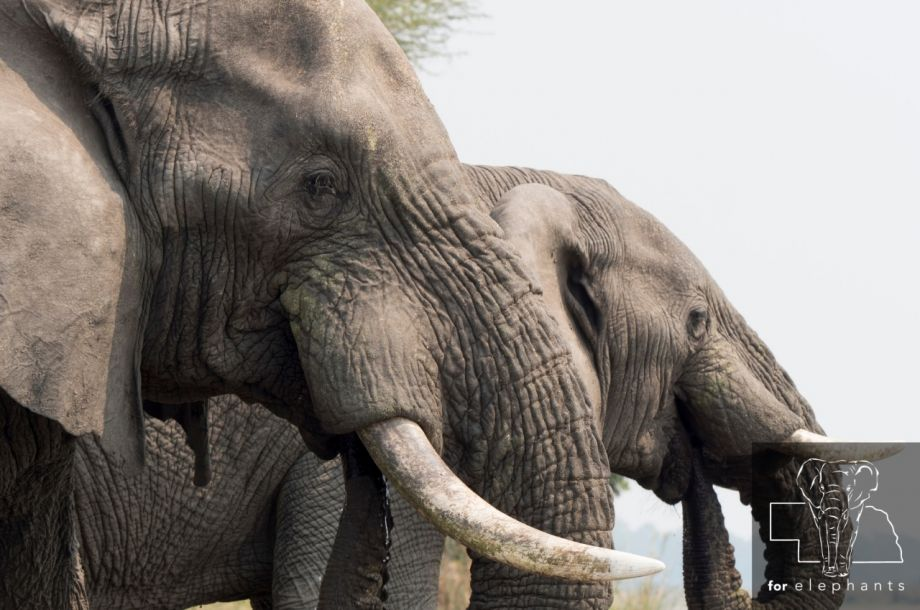 Updated: African elephants' role in Africa's ecosystem