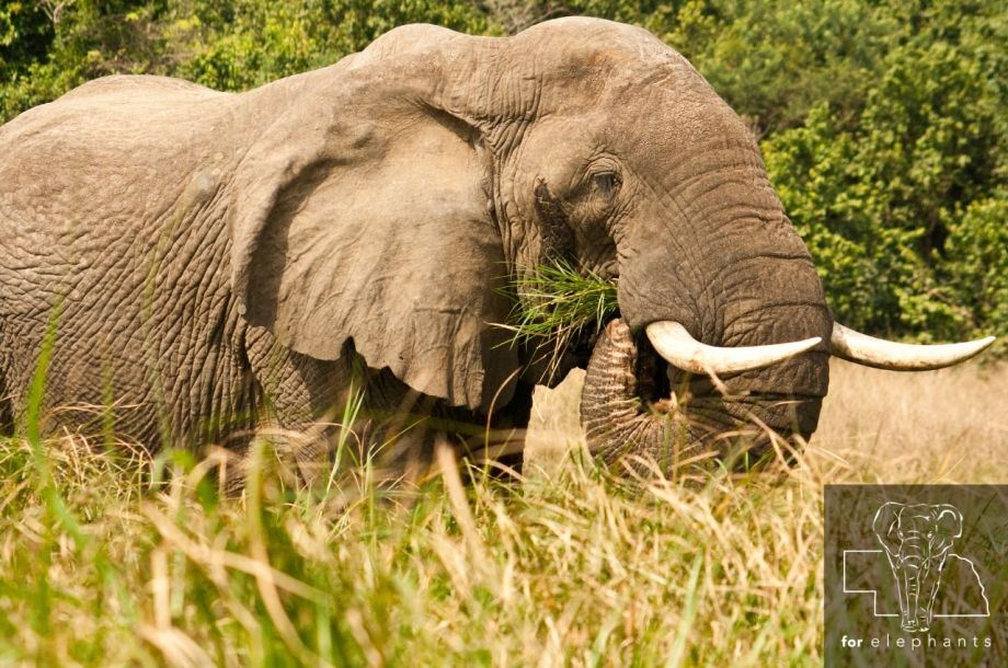 Updated: What is an African elephant's diet?