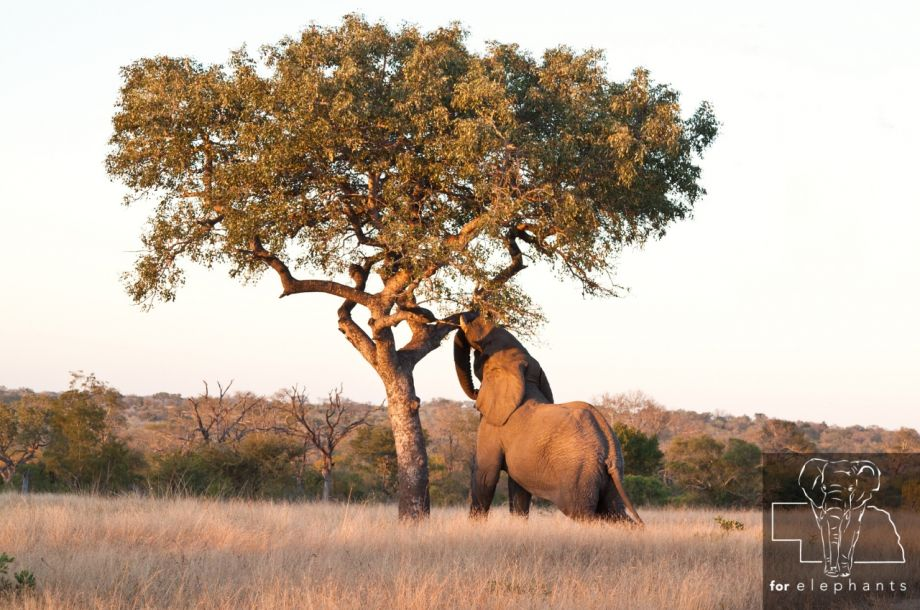 Why do elephants knock down trees?